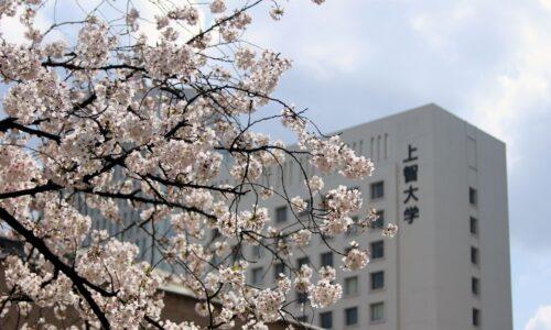 上智の桜 2017