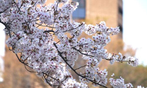 上智の桜 2020