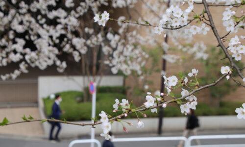 上智の桜 2021